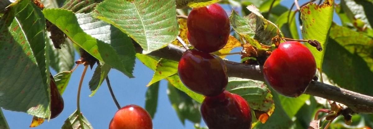 Recrutamento para apanha de fruta em Lisboa, Portalegre, Leiria, Setúbal e Beja - c/ alojamento
