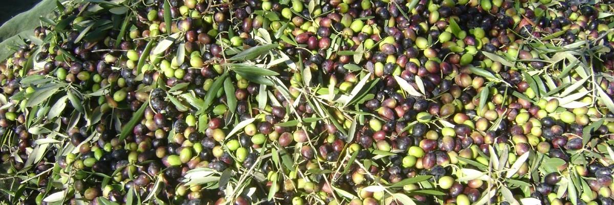 Recrutamento para colheita da azeitona: 45€/dia